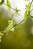 Κατσαρώνοντας φύλλα Στοκ Εικόνες