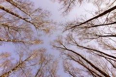 Κατώτατη άποψη δασικών δέντρων ζουγκλών το χειμώνα φθινοπώρου με τους κλάδους χωρίς φύλλα σε ένα πάρκο σε ένα νεφελώδες υπόβαθρο  Στοκ φωτογραφίες με δικαίωμα ελεύθερης χρήσης