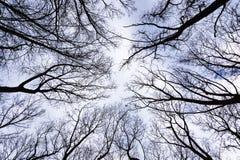 Κατώτατη άποψη δασικών δέντρων ζουγκλών το χειμώνα φθινοπώρου με τους κλάδους χωρίς φύλλα σε ένα πάρκο σε ένα νεφελώδες υπόβαθρο  Στοκ Φωτογραφία
