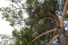 Κατώτατη άποψη ενός δέντρου πεύκων με το φως του ήλιου στο δάσος Στοκ φωτογραφία με δικαίωμα ελεύθερης χρήσης