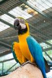 Κατώτατη άποψη του μπλε-και-κίτρινου macaw ή του ararauna Ara Στοκ Φωτογραφίες