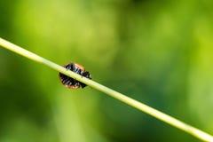 Κατώτατη άποψη του ladybug στη λεπίδα χλόης Στοκ φωτογραφία με δικαίωμα ελεύθερης χρήσης