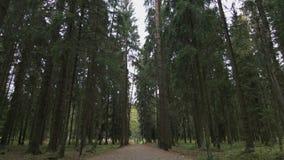 Κατώτατη άποψη των δέντρων πεύκων φιλμ μικρού μήκους