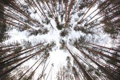 Κατώτατη άποψη των πεύκων στο χειμερινό δάσος - άποψη ψάρι-ματιών Στοκ φωτογραφία με δικαίωμα ελεύθερης χρήσης