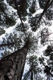 Κατώτατη άποψη των ψηλών παλαιών δέντρων, ουρανός στο υπόβαθρο Στοκ Εικόνες