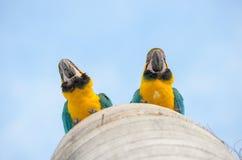 Κατώτατη άποψη δύο macaws στη φωλιά τους Στοκ φωτογραφίες με δικαίωμα ελεύθερης χρήσης