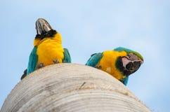 Κατώτατη άποψη δύο macaws στη φωλιά τους Στοκ Εικόνες