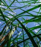 Κατώτατο σημείο εγκαταστάσεων που βλέπει επάνω: ο πράσινος κάλαμος βγάζει φύλλα κάτω από το μπλε ουρανό στοκ εικόνα