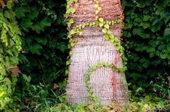 Κατώτατο σημείο του φοίνικα με τα φύλλα γύρω Στοκ Φωτογραφία