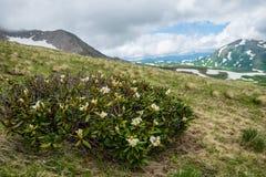 Καυκάσια βουνά, rhododendron Στοκ εικόνες με δικαίωμα ελεύθερης χρήσης