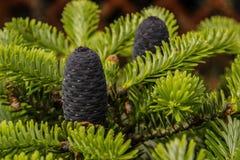 Καυκάσιοι κώνοι δέντρων έλατου Στοκ Εικόνα