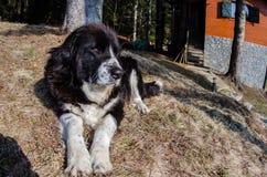 καυκάσιος ποιμένας σκυλιών Στοκ Εικόνες