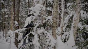 Καυκάσιο άτομο που μέσω του χιονώδους δάσους με την οδοιπορία Πολωνοί το χειμώνα απόθεμα βίντεο