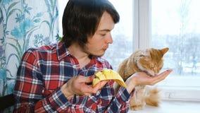 Καυκάσιο άτομο που ταΐζει ένα κόκκινο μάγκο γατών με τους φοίνικες στην κουζίνα στο σπίτι απόθεμα βίντεο
