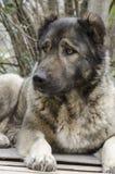 Καυκάσιο σκυλί προβάτων Στοκ Εικόνα