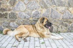 Καυκάσιο τσοπανόσκυλο δύο σκυλιών χρονών στοκ φωτογραφία με δικαίωμα ελεύθερης χρήσης