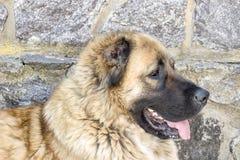 Καυκάσιο τσοπανόσκυλο δύο σκυλιών χρονών στοκ εικόνες με δικαίωμα ελεύθερης χρήσης