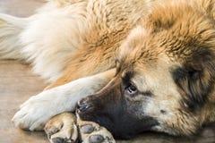 Καυκάσιο τσοπανόσκυλο δύο σκυλιών χρονών στοκ φωτογραφίες με δικαίωμα ελεύθερης χρήσης