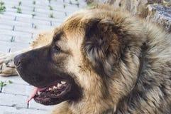 Καυκάσιο τσοπανόσκυλο δύο σκυλιών χρονών jpg στοκ φωτογραφία με δικαίωμα ελεύθερης χρήσης