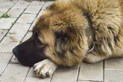 Καυκάσιο τσοπανόσκυλο δύο σκυλιών χρονών jpg στοκ φωτογραφία
