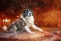 Καυκάσιο τσοπανόσκυλο στο χρόνο φθινοπώρου Ενήλικο καυκάσιο σκυλί ποιμένων στοκ φωτογραφίες