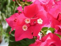 καυτά ρόδινα λουλούδια Bougainvillea Στοκ φωτογραφία με δικαίωμα ελεύθερης χρήσης