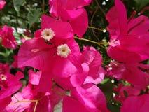 καυτά ρόδινα λουλούδια Bougainvillea Στοκ φωτογραφίες με δικαίωμα ελεύθερης χρήσης