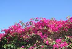 Καυτά ρόδινα λουλούδια ενάντια σε έναν μπλε ουρανό Στοκ Εικόνα