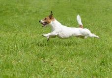 Καυτές ημέρες θερινών σκυλιών Ενεργό τεριέ που τρέχει γρήγορα Στοκ Εικόνες