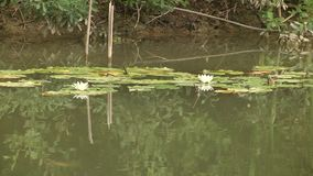 Καυτή ημέρα στη λίμνη Η μικρή λίμνη εισβάλλεται με τους θάμνους και τη χλόη φιλμ μικρού μήκους