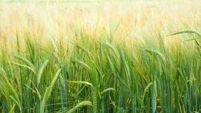καυτός θερινός σίτος πεδίων ημέρας Πράσινα αυτιά του σίτου στον τομέα Υπόβαθρο των ωριμάζοντας αυτιών του τομέα σίτου λιβαδιών απόθεμα βίντεο