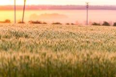 καυτός θερινός σίτος πεδίων ημέρας πράσινος σίτος αυτιών Όμορφο τοπίο ηλιοβασιλέματος φύσης Αγροτικό τοπίο κάτω από το χρυσό να λ Στοκ Φωτογραφίες