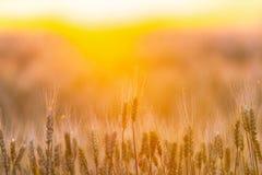 καυτός θερινός σίτος πεδίων ημέρας πράσινος σίτος αυτιών Όμορφο τοπίο ηλιοβασιλέματος φύσης Αγροτικό τοπίο κάτω από το χρυσό να λ Στοκ φωτογραφία με δικαίωμα ελεύθερης χρήσης