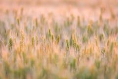 καυτός θερινός σίτος πεδίων ημέρας πράσινος σίτος αυτιών Όμορφο τοπίο ηλιοβασιλέματος φύσης Αγροτικό τοπίο κάτω από το χρυσό να λ Στοκ Φωτογραφία
