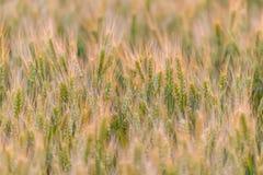 καυτός θερινός σίτος πεδίων ημέρας πράσινος σίτος αυτιών Όμορφο τοπίο ηλιοβασιλέματος φύσης Αγροτικό τοπίο κάτω από το χρυσό να λ Στοκ εικόνα με δικαίωμα ελεύθερης χρήσης