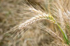 καυτός θερινός σίτος πεδίων ημέρας χρυσός σίτος πεδίων αυτιώ&n Στοκ φωτογραφία με δικαίωμα ελεύθερης χρήσης