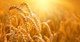 καυτός θερινός σίτος πεδίων ημέρας Αυτιά της χρυσής κινηματογράφησης σε πρώτο πλάνο σίτου στοκ εικόνα