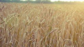 καυτός θερινός σίτος πεδίων ημέρας Αυτιά του χρυσού σίτου Αγροτικό τοπίο κάτω από τη λάμποντας κάμερα φωτός του ήλιου σε σε αργή  απόθεμα βίντεο