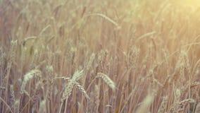 καυτός θερινός σίτος πεδίων ημέρας Αυτιά του χρυσού σίτου Αγροτικό τοπίο κάτω από τη λάμποντας κάμερα φωτός του ήλιου σε σε αργή  φιλμ μικρού μήκους