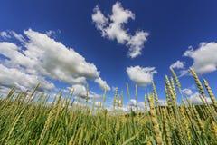 καυτός θερινός σίτος πεδίων ημέρας Σκηνή γεωργίας Στοκ φωτογραφίες με δικαίωμα ελεύθερης χρήσης