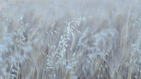 καυτός θερινός σίτος πεδίων ημέρας Στοκ φωτογραφίες με δικαίωμα ελεύθερης χρήσης
