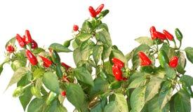 καυτό κόκκινο πιπεριών Στοκ εικόνες με δικαίωμα ελεύθερης χρήσης