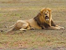 καυτό λιοντάρι Στοκ Εικόνες