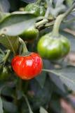 Καυτό πιπέρι κολοκύθας στοκ φωτογραφίες με δικαίωμα ελεύθερης χρήσης