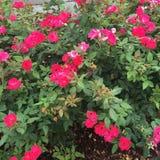 καυτό ροζ λουλουδιών Στοκ Φωτογραφία