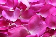 καυτό ροζ πετάλων Στοκ Εικόνες