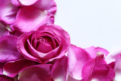 καυτό ροζ πετάλων Στοκ φωτογραφίες με δικαίωμα ελεύθερης χρήσης