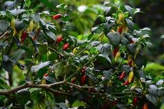 καυτό φυτό πιπεριών στοκ φωτογραφίες με δικαίωμα ελεύθερης χρήσης