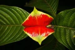 καυτό χειλικό φυτό Στοκ εικόνα με δικαίωμα ελεύθερης χρήσης
