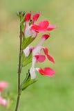 καυτό salvia χειλικού microphylla Στοκ εικόνες με δικαίωμα ελεύθερης χρήσης
